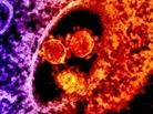Virologists discovered the new coronavirus after it killed a Saudi Arabian man last summer.