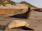 A male northern elephant seal calling near Santa Cruz, Calif.
