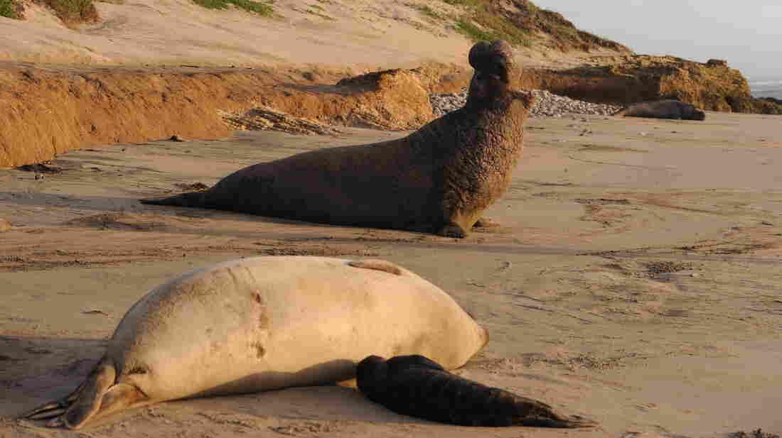A male northern elephant seal calling near Santa Cruz, Calif.