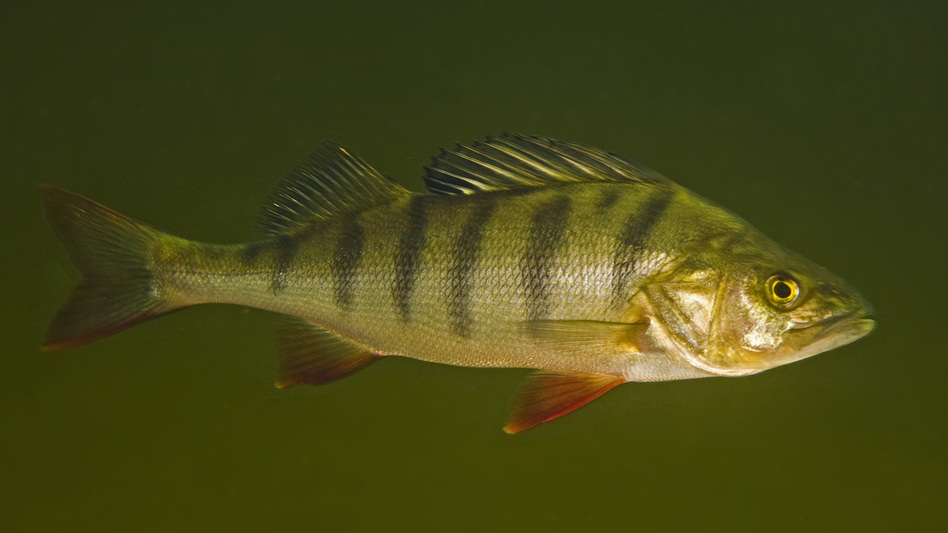 Perch exposed to the anxiety drug oxazepam were more daring and ate more quickly than fish that lived in drug-free water. (Courtesy of Bent Christensen)