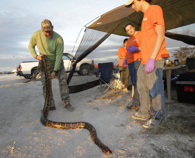 "Bill Booth stretches out a dead Burmese python caught during Florida's ""Python Challenge"" on Jan. 19."