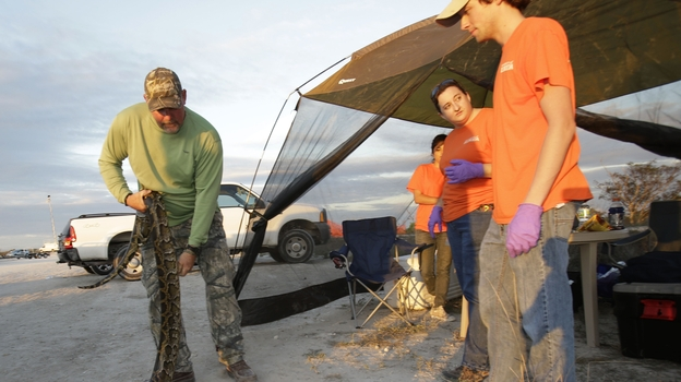 "Bill Booth stretches out a dead Burmese python caught during Florida's ""Python Challenge"" on Jan. 19. (AP)"