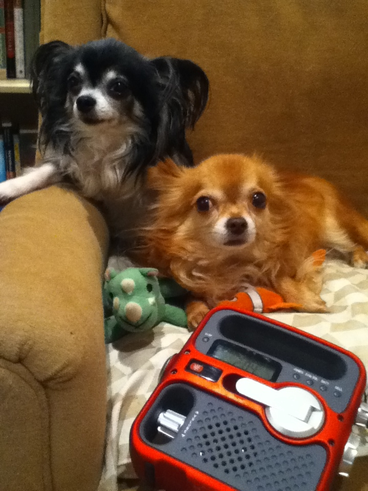 """Haiku & Glenn like to lounge in the armchair and listen to NPR on the weather radio that they got for their donation to WFYI in Indianapolis, Indiana."""
