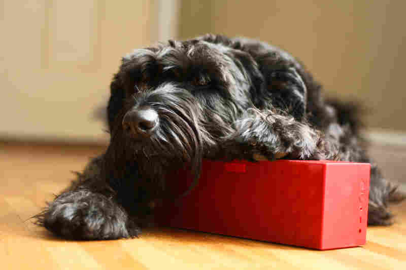 """Molly the Giant Schnauzer listens to Minnesota Public Radio's KNOW."""