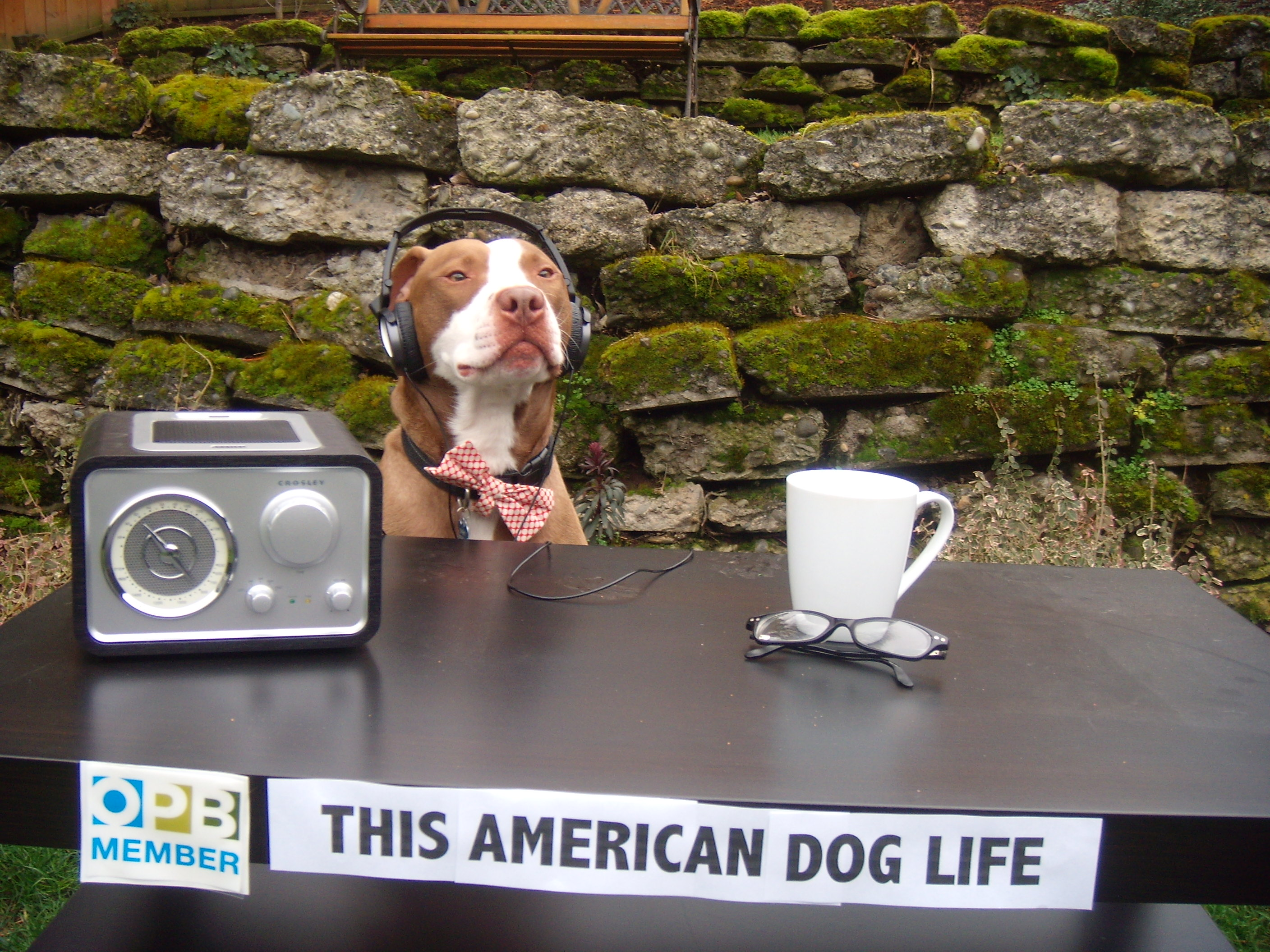 """Sparky listens to today's theme of This American (Dog) Life on his NPR station KOPB in Portland, Oregon."""