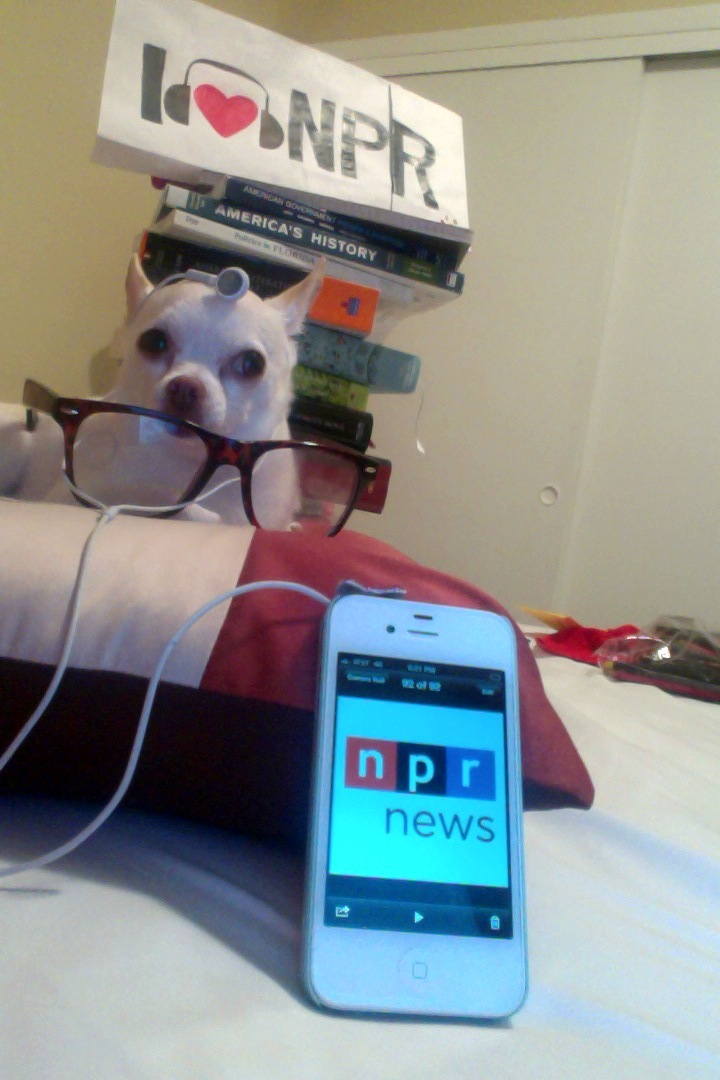 """Fifi just isn't like other Chihuahuas in town. This Oklahoma born native loves the dog beaches in Southwest Florida and among other things tuning into NPR (WGCU; WMKO) in her private library."""