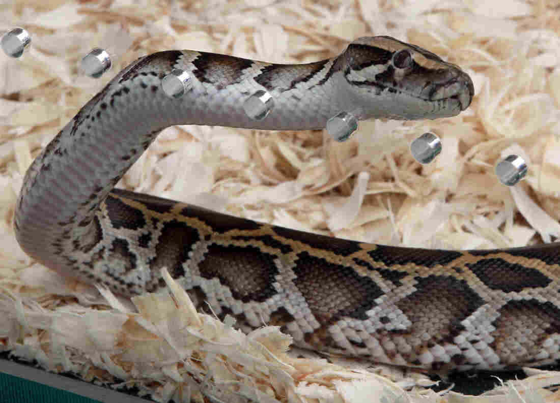 A Burmese python at Zoo Miami. Authorities are trying to cut down the number of such snakes in the state.