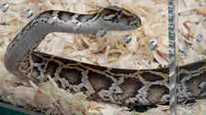 The Snake's A Snitch: Why Florida Released Biggest Python Caught In Hunt