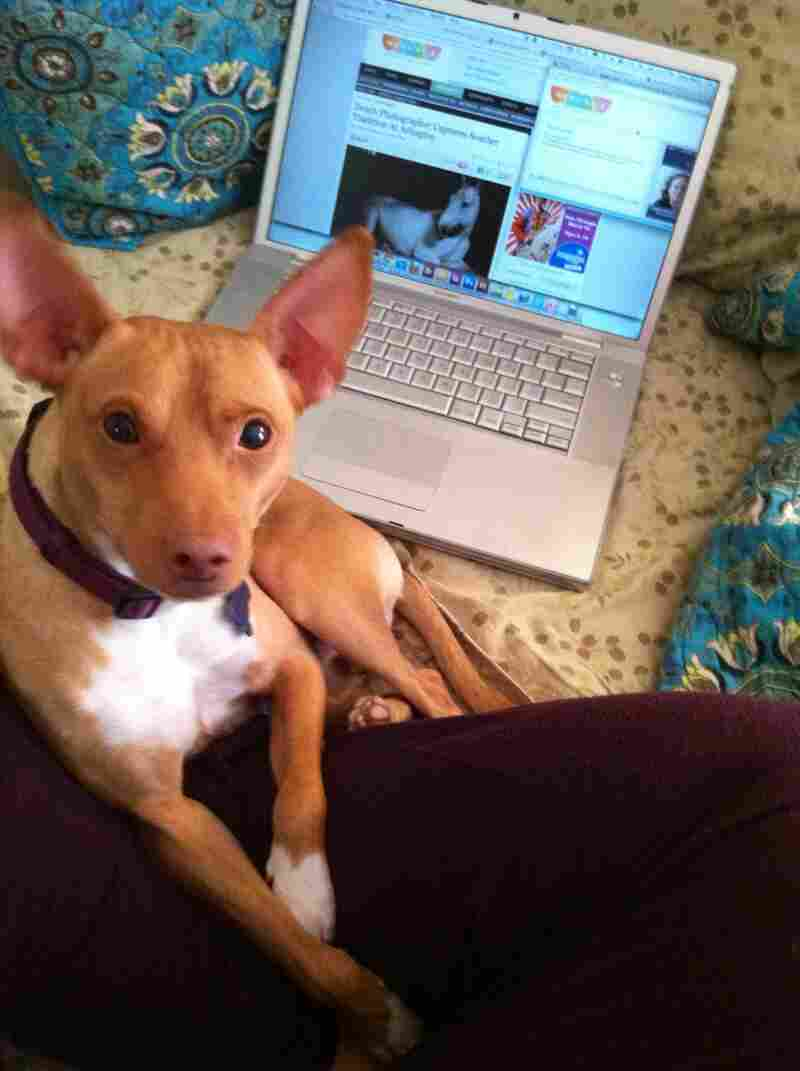 """Abutiu Rex Canus, a Basenji-MinPin mix adopted from City Dogs Rescue, enjoys a lazy Saturday morning listening to The Animal House on WAMU in Washington, D.C. His master, Sally Maier of Eckington, D.C., loves The Kojo Nnamdi Show and On The Media."""
