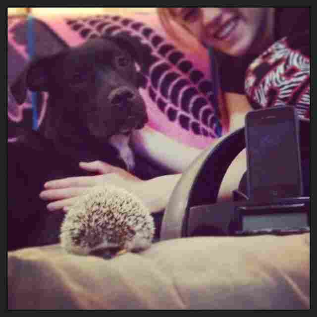 """Penelope the hedgehog and Bogart the news-hungry pup make for a unique pairing of pets. Both are avid fans of Washington D.C.'s NPR station 88.5 WAMU though, and they refuse to listen to anything else when getting ready for a work day or during sleepy weekend mornings."""
