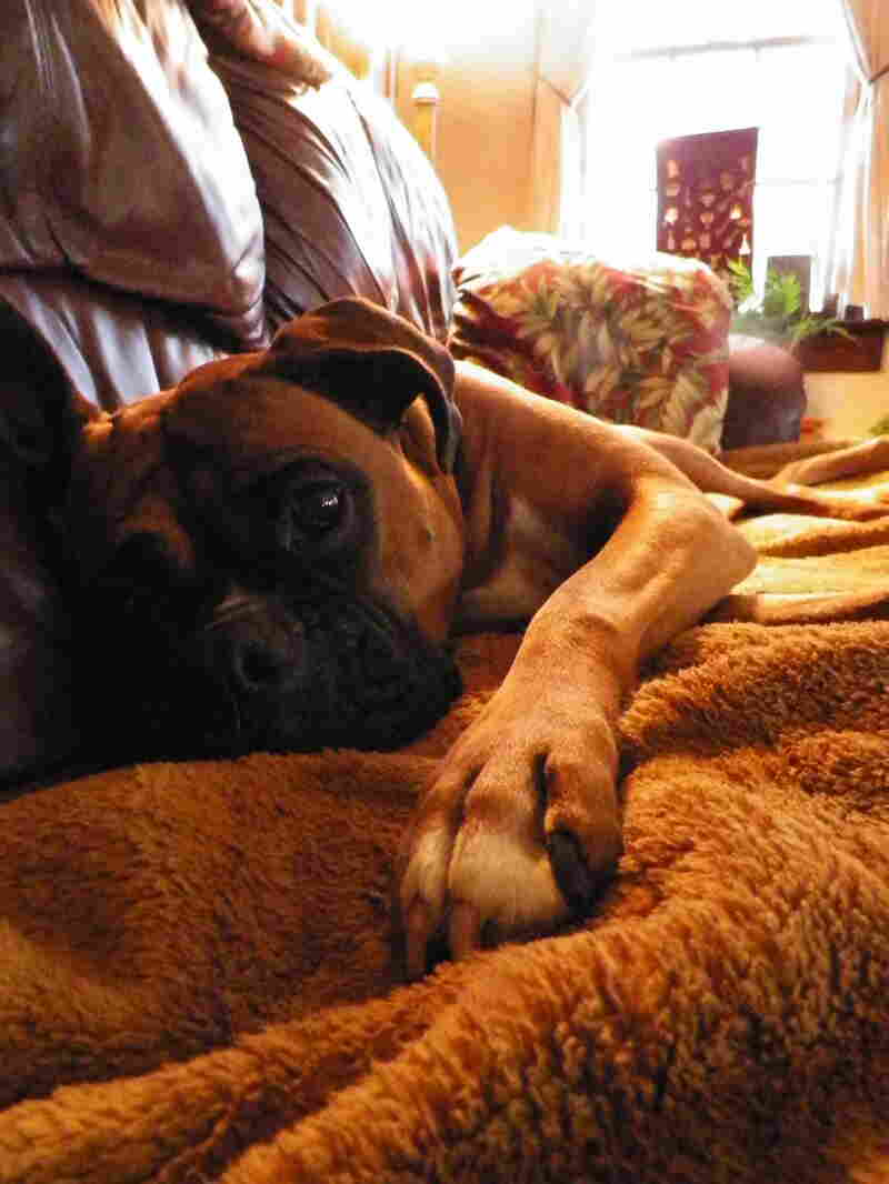 """This is Mickey, a full-blooded boxer and lounger with a perpetual look of sad, puppy eyes aimed at making you feel terrible about going anywhere and not bringing her with you. (It's all an act.) Her (and my) favorite NPR station is WOSU in Columbus, Ohio."""