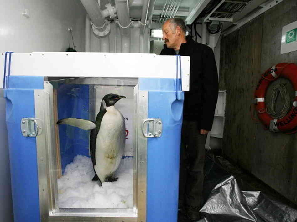 "The original ""Happy Feet"" ready for release aboard The New Zealand research vessel Tangaro"