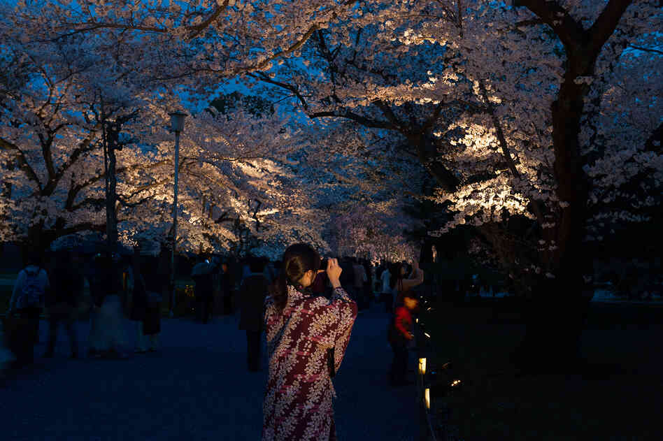 Hanami (flower viewing), Sakura (Cherry Blossom Festival), Nijo Castle, Kyoto, Japan