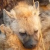 Spotted hyena cubs socialize at their communal den in the Maasai Mara National Reserve, Kenya