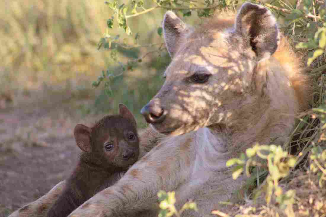 A spotted hyena cub with her mother in the Maasai Mara National Reserve, Kenya