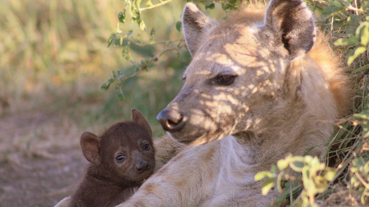 Convergent Evolution: Hyenas Offer Clues To The Human Past