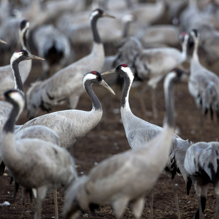 Tens of thousands of cranes stayed this winter in the Hula Valley in northern Israel instead of migrating to Africa, taking advantage of the restored wetlands.