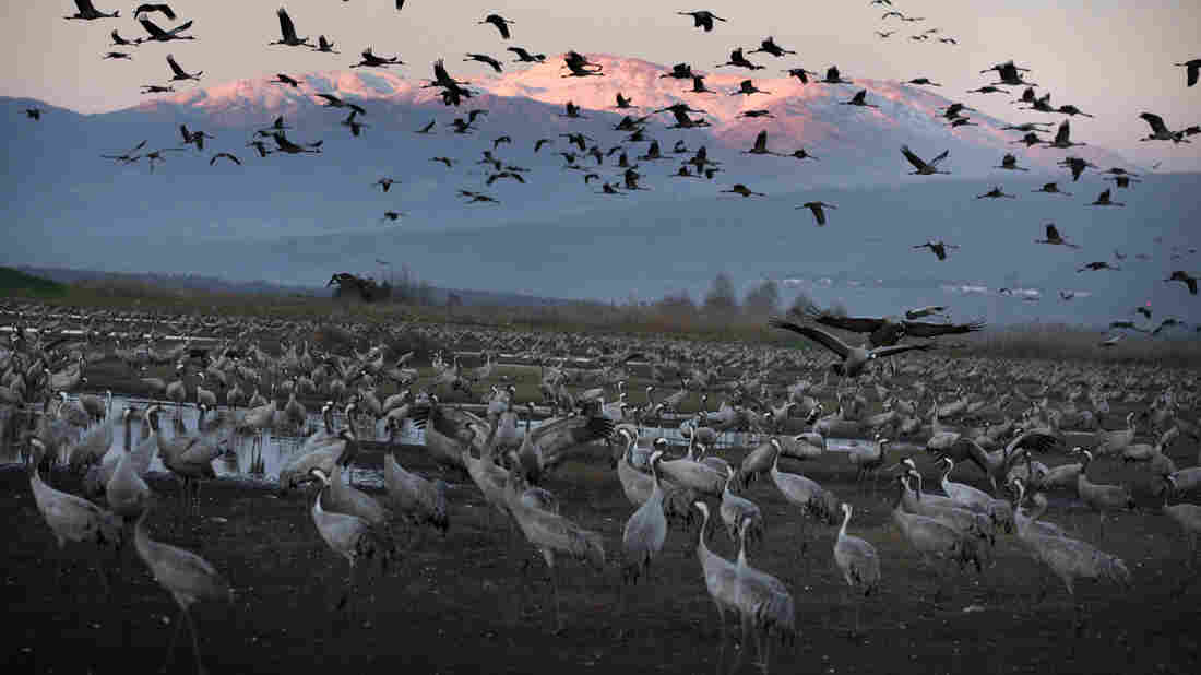 Cranes fly at sunset above the Hula Valley of northern Israel in January. Millions of birds pass through the area as they migrate south every winter from Europe and Asia to Africa. Some now stay in the Hula Valley for the entire winter.