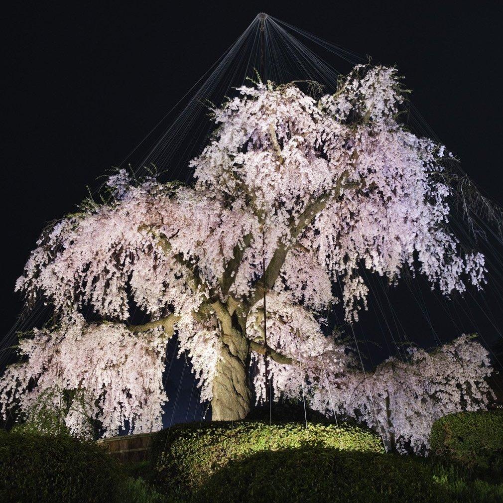 Hanami (flower viewing), Sakura (Cherry Blossom Festival), Maruyama Park, Kyoto, Japan