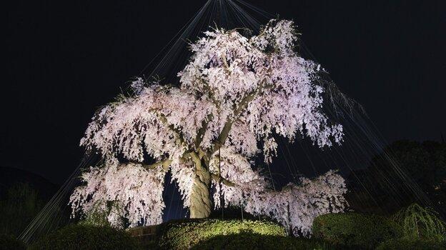 Hanami (flower viewing), Sakura (Cherry Blossom Festival), Maruyama Park, Kyoto, Japan (National Geographic)