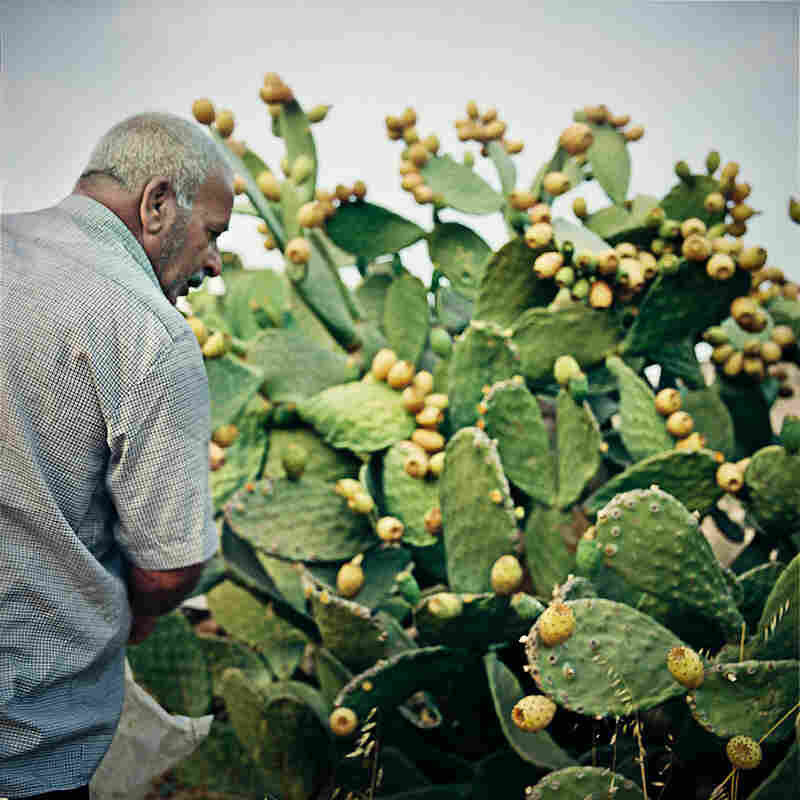 Adnan picking sabras at his fields at Wadi Fuqin.