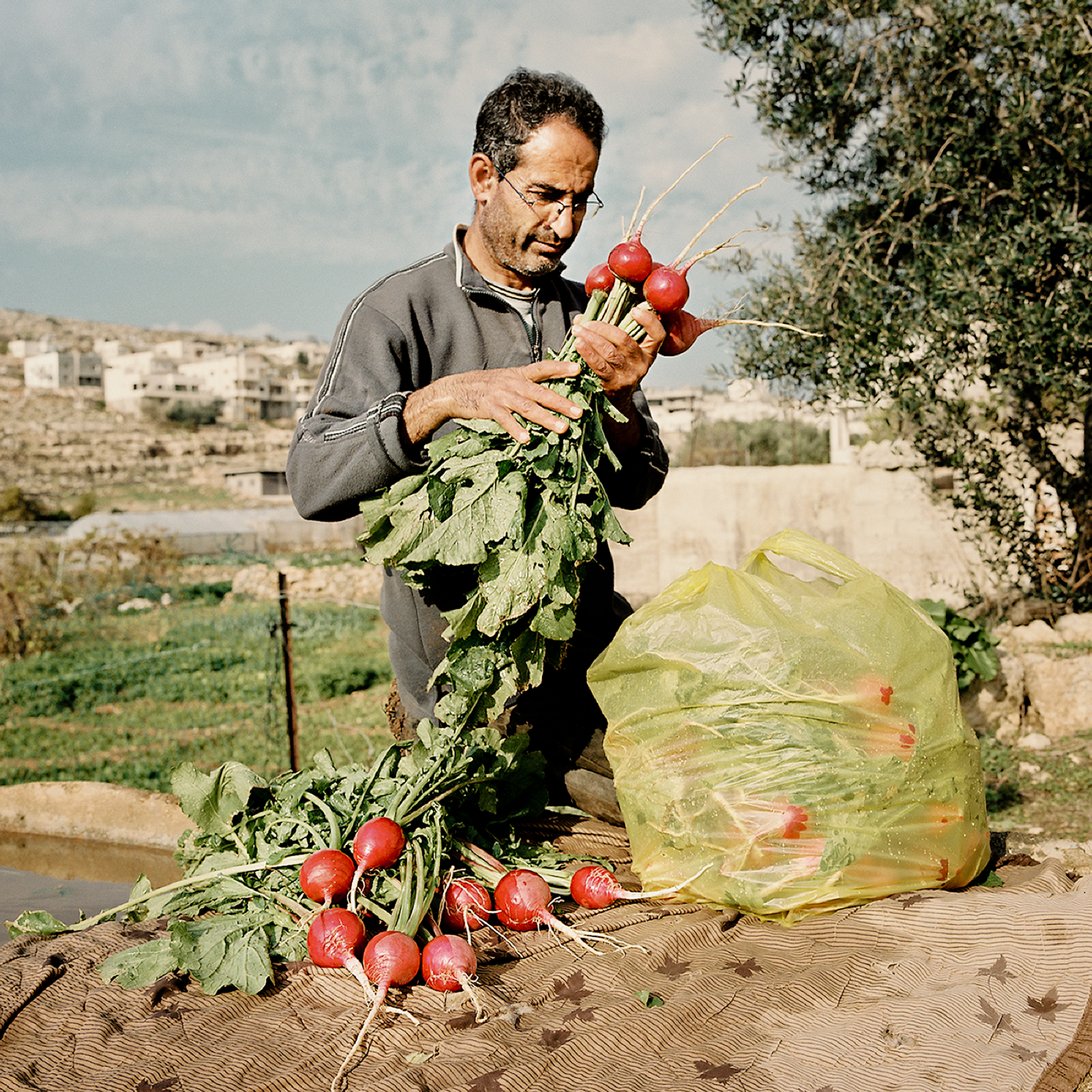Hamad, cleaning his radishes before taking them to the market.