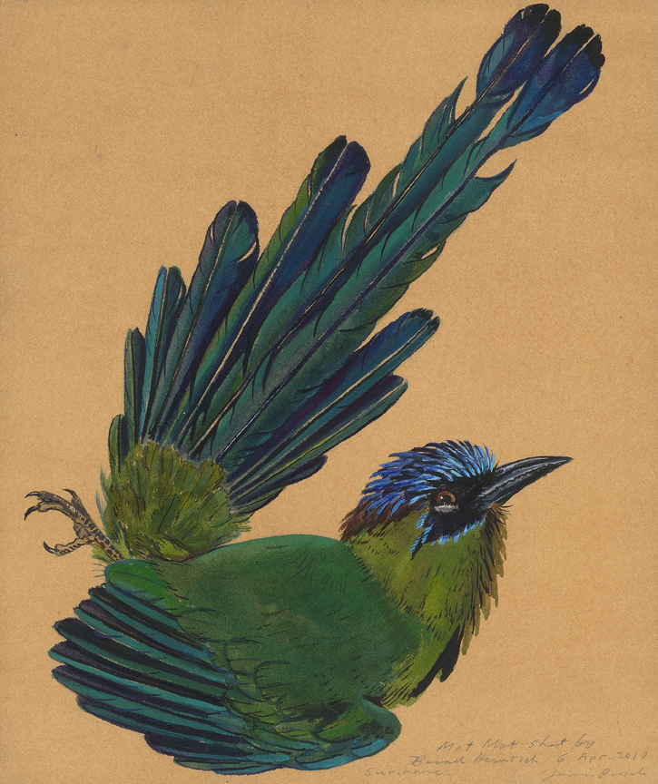 Motmot is a watercolor Prosek painted in the field on a 2010 collecting trip to a previously unexplored region in Suriname with the Yale Peabody Museum of Natural History.