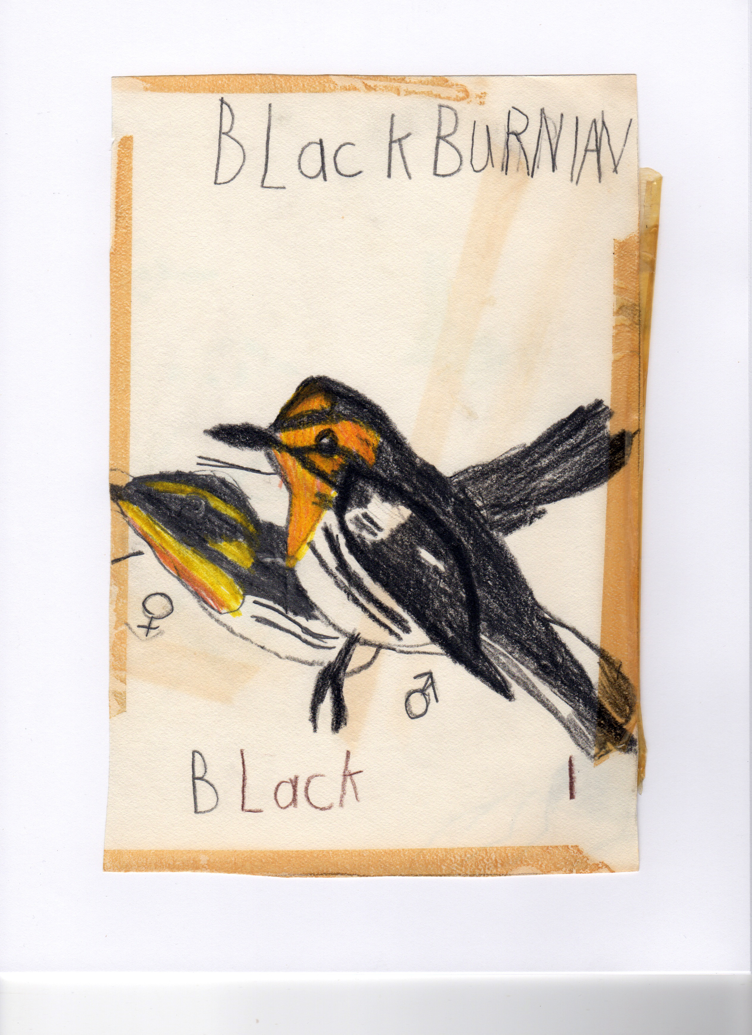 Prosek guesses that he was 5 years old when he made this colored pencil drawing of a Blackburnian warbler.