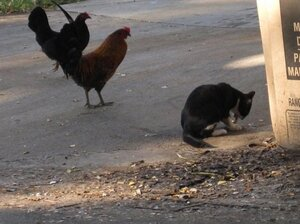 Why are so many feral chickens crossing the roa