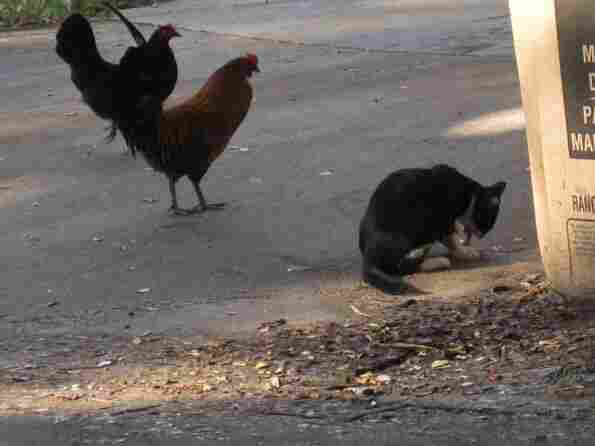 Why are so many feral chickens crossing the road in Maui? To get a rental car, of course.