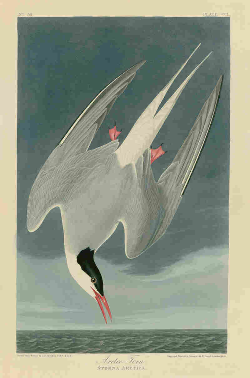 "The ""Arctic Tern"" from John James Audobon's Birds of America makes a profound impression on Doug, the protagonist of Okay for Now."