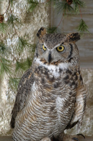 Alice the Great Horned Owl.