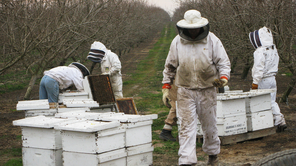 Hired beekeepers work to pollinate an almond orchard near Snelling, Calif. Wild bees play a critical role in helping honeybees pollinate crops, but they often can't survive on modern monoculture farms. (NPR)