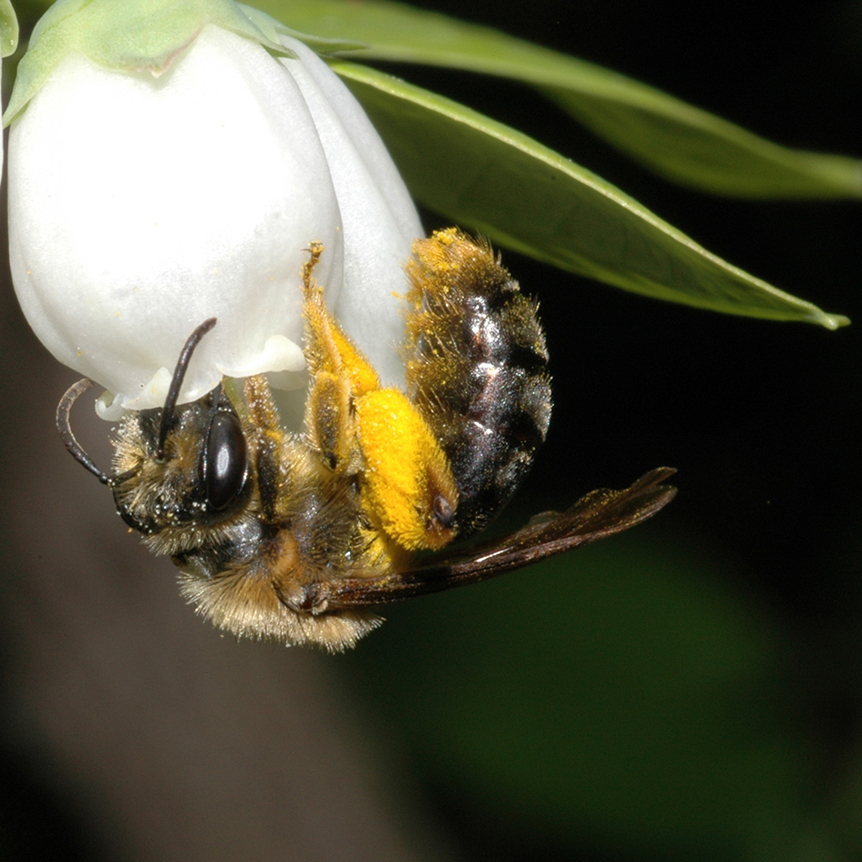 Blueberries, almonds and many other crops rely on the pollination of wild bees, such as this Andrena bee visiting highbush blueberry flowers.