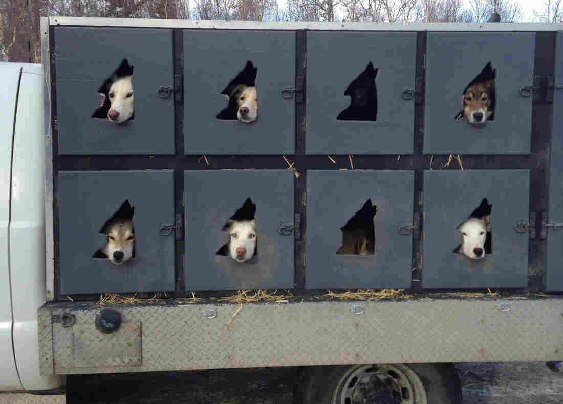 Mushers can bring up to 20 dogs to the Iditarod but can start the race with only 16. In the days before the competition, the animals are taken to the Iditarod headquarters in Wasilla, Alaska, for pre-race exams.