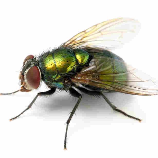 Man Turned Fly Seeks Revenge For Bad Reincarnation