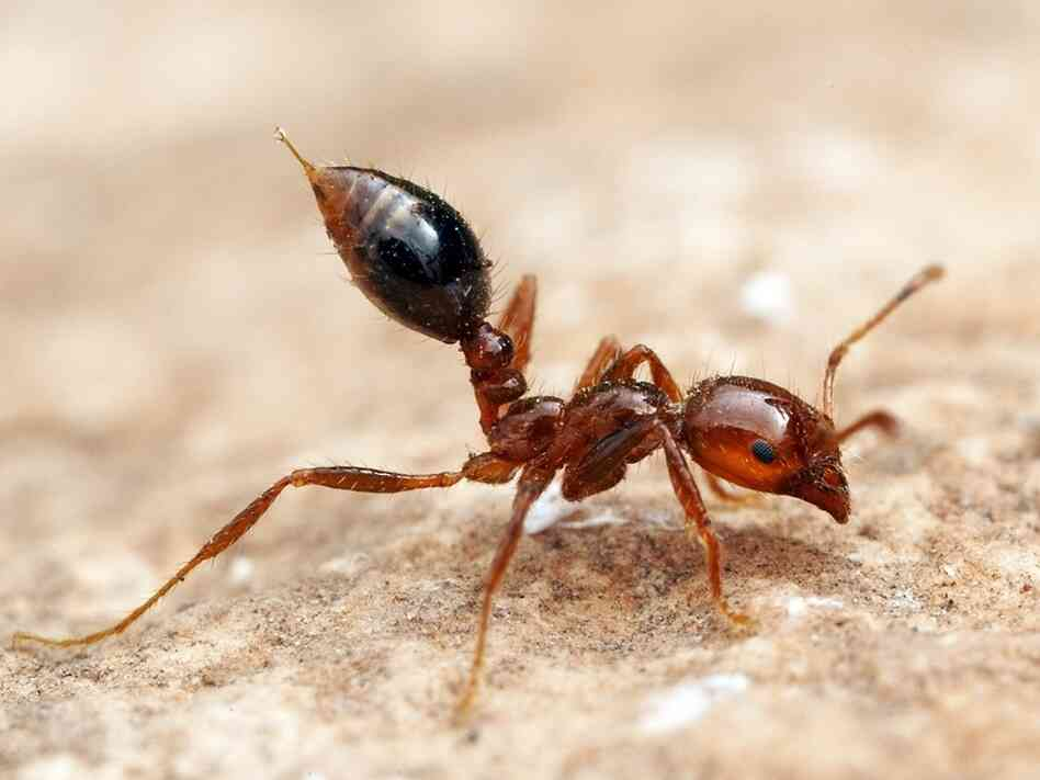The sting of Solenopsis invicta, the red imported fire ant, is well known to many in the Southern United States, but immunotherapy is possible.