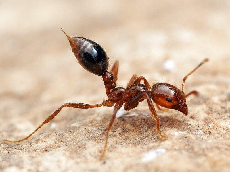 Best Defense Against Fire Ants May Be Allergy Shot Offense Shots Health News Npr