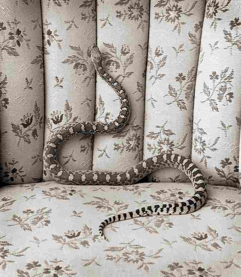 When Evans' landlady, Lucille French Clark, died, he documented each room in her house and brought in a critter from the desert, like this bull snake, to place in each room.