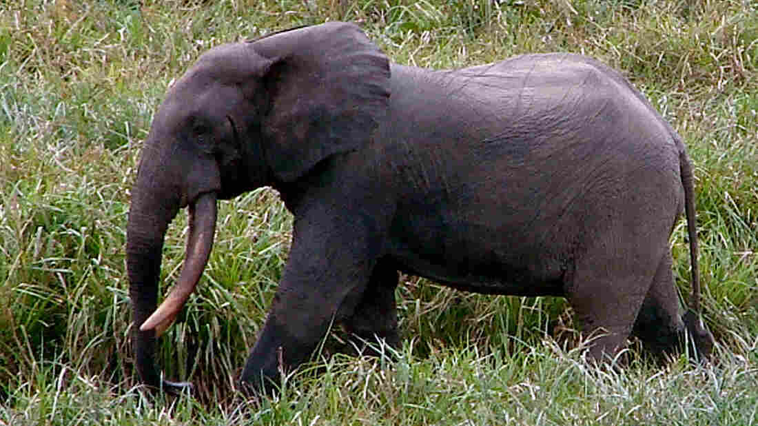 In this Sept. 1, 2008, photo released by Wildlife Conservation Society, a male forest elephant strides across Langoue Bai, Gabon.