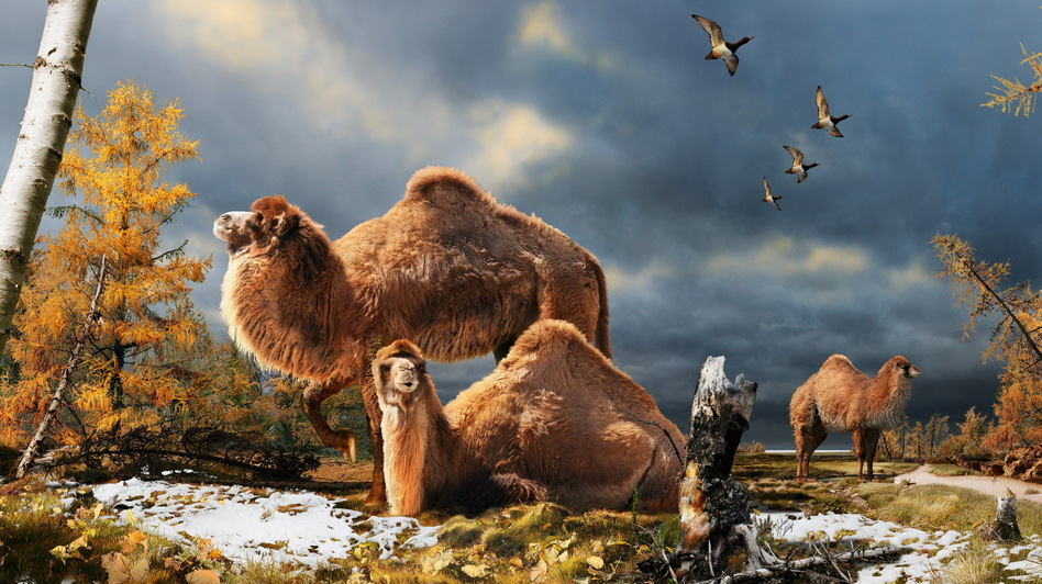 Illustration of the High Arctic camel on Ellesmere Island during the Pliocene warm period, aboutthree-and-a-half million years ago. The camels lived in a boreal-type forest. The habitat includeslarch trees and the depiction is based on records of plant fossils found at nearby fossil deposits.