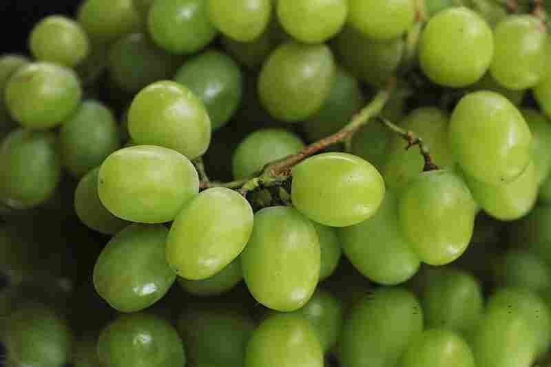 Left to their devices, many seedless grapes would be puny and soft. But these Thompson seedless got pleasingly plump after a little hormone therapy and girdling.