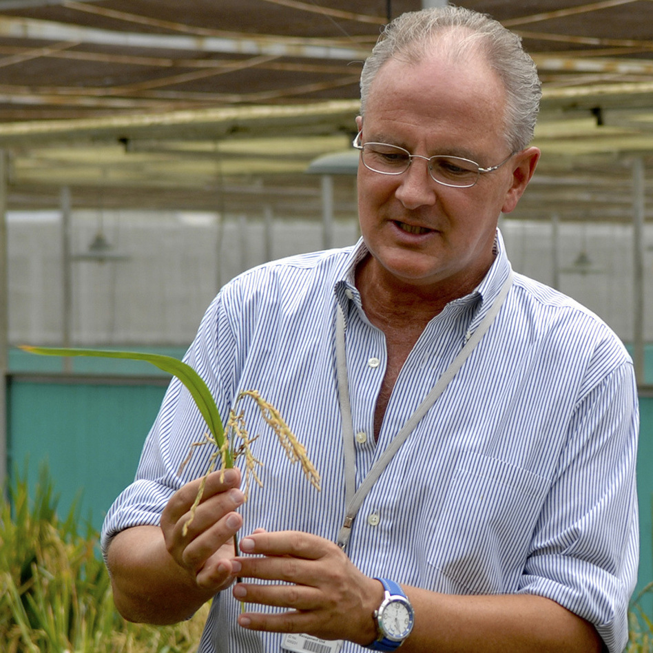 Dr. Gerard Barry, IRRI's golden rice project leader, inspects golden rice in the screen house. (International Rice Research Institute)