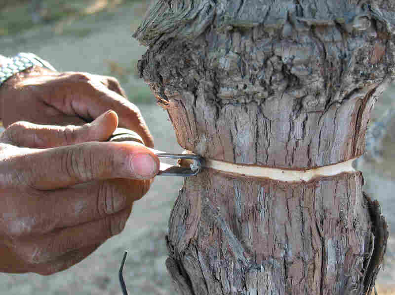 "Put a ""girdle"" on that vine: By scraping off a small section of the grapevine's trunk, a farmer in California hopes to fatten up the fruit growing at the top."