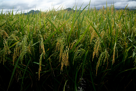 Golden rice plants at a confined field trial in 2010.