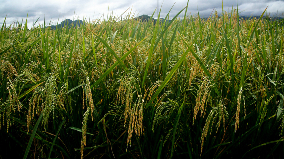Golden rice plants at a confined field trial in 2010. (Courtesy of the International Rice Research Institute)