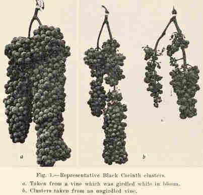 A 1931 horticultural pamphlet from the University of California shows how girdling boosts grape size and quality.