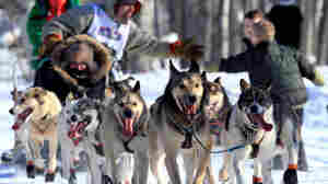 In The Iditarod Race, 'Pee Pants' Get An Endurance Test
