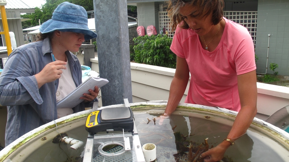 Sophie Dove (right) and Annamieke Van Den Heuvel of the Coral Reef Ecosystems Laboratory at the University of Queensland, St. Lucia, check on part of an experiment on the effects of water temperature and carbon dioxide levels on coral reefs. (NPR)