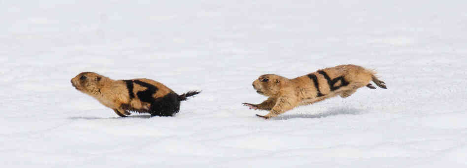 an overview of the characteristics of prairie dogs Complete and detailed information regarding the behavior of the shih tzu overview the shih tzu is a interaction between the shih tzu with other dogs.